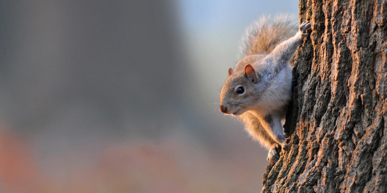 【蘇珊專欄】英國外來東方灰松鼠成入侵種:人為干擾為主因