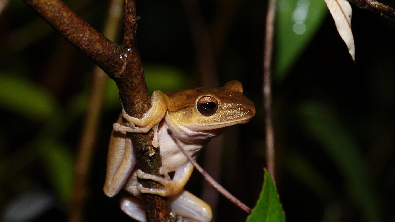 那些雨後抓蛙的日子:新北五股移除四千餘隻斑腿樹蛙