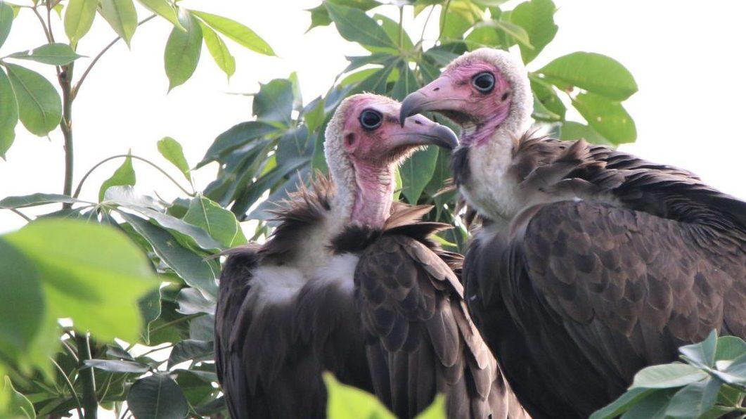 在多哥看見的一對連帽禿鷹。圖/Nico Arcilla攝影